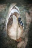 Beautiful goose Royalty Free Stock Photos
