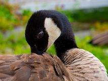 Beautiful Goose royalty free stock photo