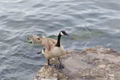 Beautiful goose is going on the rock Royalty Free Stock Photos