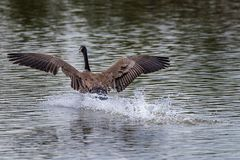 Beautiful Goose Landing in Water.  Stock Image