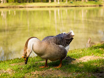 Beautiful goose next to lake. Amazing photo of goose next to lake on a summer day Royalty Free Stock Image