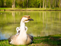 Beautiful goose next to lake. Amazing photo of goose next to lake on a summer day Stock Photography