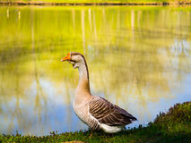 Beautiful goose next to lake. Amazing photo of goose next to lake on a summer day Royalty Free Stock Photo