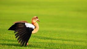 Beautiful Goose at Sunset Stock Photo