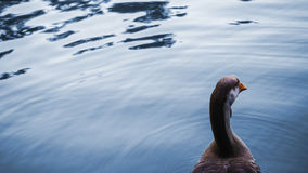 Beautiful Goose swimming Stock Photos