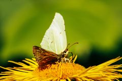 Beautiful gorgeous colorful butterfly on yellow flower in sunny Royalty Free Stock Photo