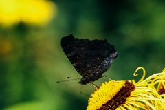 Beautiful gorgeous colorful butterfly on yellow flower in sunny Royalty Free Stock Images