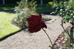 Beautiful rose in bloom. Shallow depth of field, selective focus. Beautiful gorgeous dark red rose in bloom. Shallow depth of field, selective focus stock photography