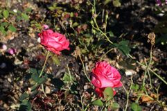 Beautiful rose in bloom. Shallow depth of field, selective focus. Beautiful gorgeous pink rose in bloom. Shallow depth of field, selective focus royalty free stock images