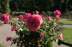 Beautiful rose in bloom. Shallow depth of field, selective focus. Beautiful gorgeous pink rose in bloom. Shallow depth of field, selective focus royalty free stock photos