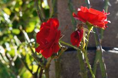 Beautiful rose in bloom. Shallow depth of field, selective focus. Beautiful gorgeous red rose in bloom. Shallow depth of field, selective focus royalty free stock image