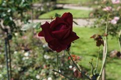 Beautiful dark red rose in bloom. Shallow depth of field, selective focus. Beautiful gorgeous rose in bloom. Shallow depth of field, selective focus royalty free stock photography