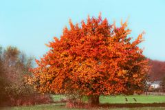 Beautiful gorgeous tree with red autumn foliage at sky and country Stock Photography