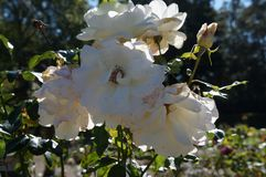 Beautiful rose in bloom. Shallow depth of field, selective focus. Beautiful gorgeous white rose in bloom. Shallow depth of field, selective focus royalty free stock photography