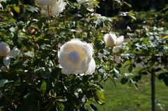 Beautiful rose in bloom. Shallow depth of field, selective focus. Beautiful gorgeous white rose in bloom. Shallow depth of field, selective focus stock photo