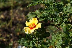 Beautiful rose in bloom. Shallow depth of field, selective focus. Beautiful gorgeous yellow rose in bloom. Shallow depth of field, selective focus royalty free stock photos