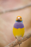 Beautiful Gouldian Finch. Royalty Free Stock Photography