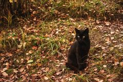 Beautiful graceful black cat with yellow eyes sitting on yellow leaves in autumn. Royalty Free Stock Photo