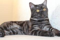 Beautiful graceful British cat Stock Photo
