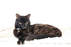 Beautiful graceful cat lying on a soft blanket. Stock Image