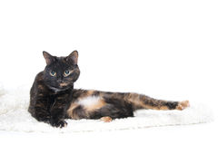 Beautiful graceful cat lying on a soft blanket. Royalty Free Stock Image