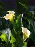 Cream colored Calla Lilies Stock Images