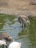 Beautiful and graceful flamingo bird walking near the lake in the zoo of Erfurt. Royalty Free Stock Photos
