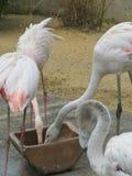 Beautiful and graceful flamingo bird walking near the lake in the zoo of Erfurt. Stock Photography