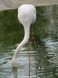 Beautiful and graceful flamingo bird walking near the lake in the zoo of Erfurt. Stock Image