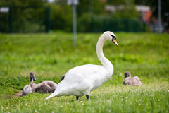 Beautiful graceful white swan adult is walking on the grass. Royalty Free Stock Photography