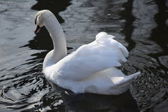 Beautiful and graceful white swans, the most beautiful bird on the ground. They swim in the cold of winter river under sun. Royalty Free Stock Image