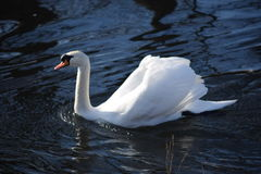 Beautiful and graceful white swans, the most beautiful bird on the ground. They swim in the cold of winter river under the sun. Stock Photography