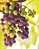 Beautiful grape brunch Royalty Free Stock Photos
