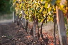 Beautiful grape field at sunrise Royalty Free Stock Images
