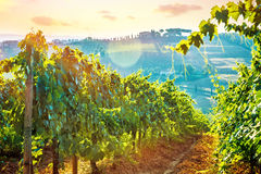 Beautiful grape field valley Stock Photography