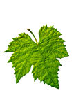 Beautiful grape leaf isolated. Beautiful healthy grape leaf isolated Stock Images