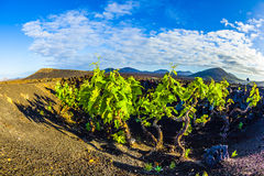 Beautiful grape plants grow on volcanic soil Stock Photography