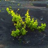 Beautiful grape plants grow on Stock Photo