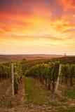 Beautiful grape vines in Moravia Stock Images