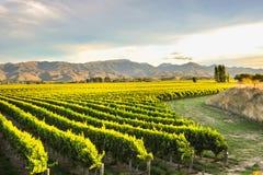 Beautiful grape yard Stock Photography