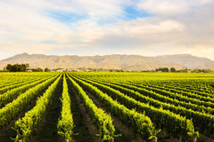 Beautiful grape yard Royalty Free Stock Photos