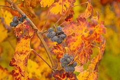 Beautiful Grapes. And Leaves in Fall stock image