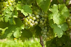 Beautiful grapes in the vineyard Stock Photography