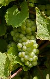 Beautiful grapes in the vineyard Stock Photos
