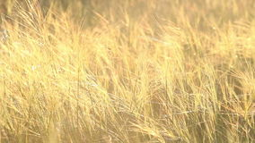 Beautiful grass field at sunset stock video footage
