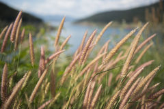 Beautiful grass flower with lake background. Royalty Free Stock Photos