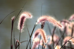 Beautiful grass flower and nature background. Stock Photo