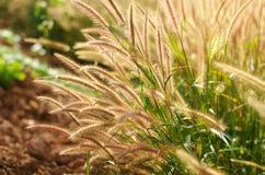 Beautiful grass flower Stock Image
