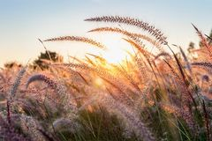 Grass flower at sunset. Beautiful grass flower at sunset stock photos
