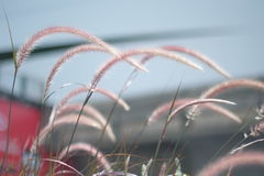 Beautiful grass flowers. With blur background royalty free stock photo